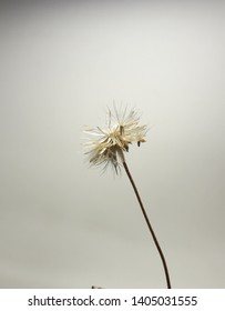dry grass flower closed up and gray background,black and white,art