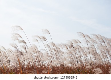Dry grass flowers blowing in the wind, red reed sway in the wind with sky background, reed field in autumn.