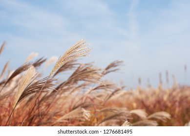 Dry grass flowers blowing in the wind, red reed sway in the wind with blue cloudy sky background, reed field in autumn.