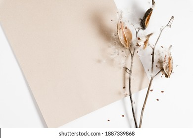 Dry grass flowers milkweed seed pod bursting open with seeds, brown paper on white background. Milkweed Seeds and Pods.