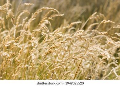 Dry grass golden color long stalk, background nature grass in riverside