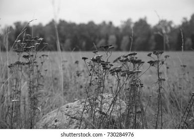 Dry grass on forest background. Black white