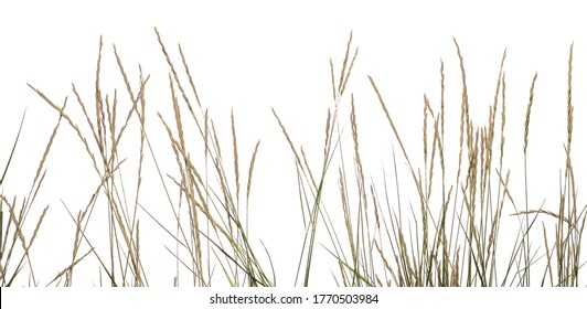 Dry grass with seeds isolated on white background, clipping path