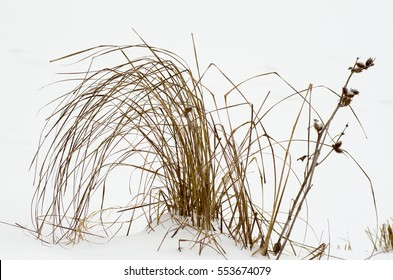 Dry grass in snow