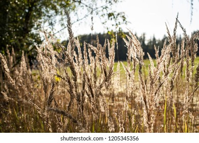 Dry grass in sunlight