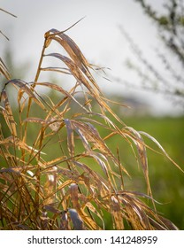 Dry Grass Waving in Field