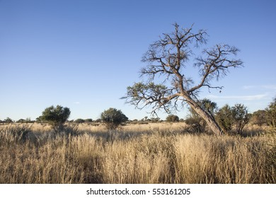 dry grassland of an african Savanna with bushes and a dead tree, concept for drought and travel africa