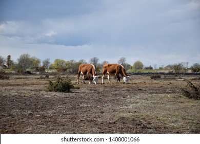 Dry grassland with two grazing cows in the world heritage site at the swedish island Oland