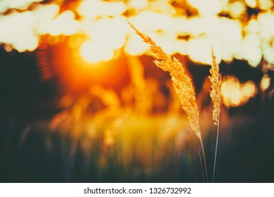 Dry Green Grass In Sunset Sunlight. Beautiful Yellow Sunrise Light Over Meadow. Late Summer Or Early Autumn