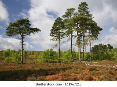 Dry Heathland with Scots Pines Trees - Pinus sylvestris , Thursley Common NNR, Surrey