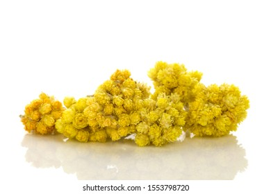 Dry Helichrysum italicum flower. Immortelle plant isolated on white background.