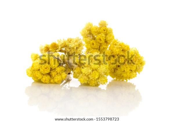 Dry Helichrysum italicum flower. Immortelle plant isolated on white background.