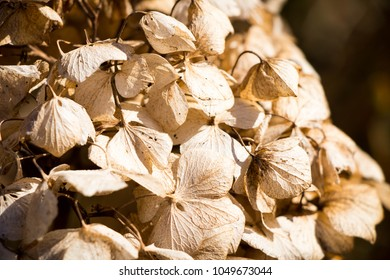 dry hydrangea flower hortensia dried old close up