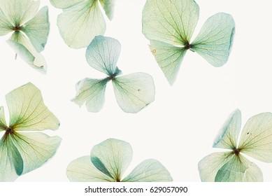 dry hydrangea flowers