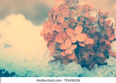 Dry Hydrangea flowers in snow