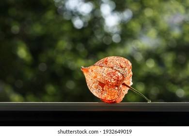 Trockene Lampion (Alkekengi physalis) auf grünem Bokeh-Hintergrund