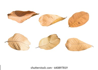Dry leaf isolated on white background.