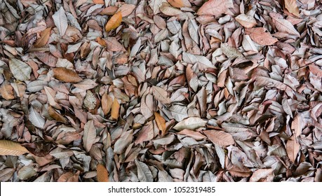 Dry leaf on ground. Gray leafs cover surface of ground is beauty pattern background in garden forest. The leave tree falling on autumn on summer. Beautiful nature color from green to red or orange