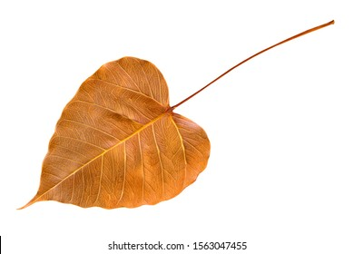 Dry leaves of Bodhi tree , Ficus religiosa ,Symbols of Buddhism. Isolated on white background with clipping path.