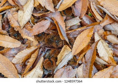 Dry leaves and chestnut urchins, chestnuts. Castanea sativa. Autumn.