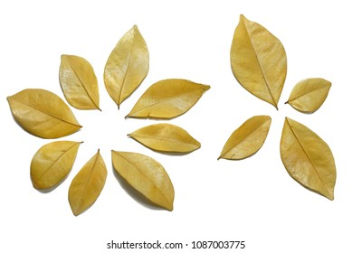 Dry leaves isolated on white background. Golden, autumn leaf, Space for text in template. set Orange Jessamine, Satin-wood, Cosmetic Bark Tree leaves.
