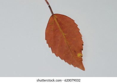 Dry leaves in white background.