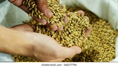 Dry malt beans ready to be used to brew the beer or the pure light or dark malt whiskey. concept of healthy and wholesome ingredients. Italian malt of barley for craft beer