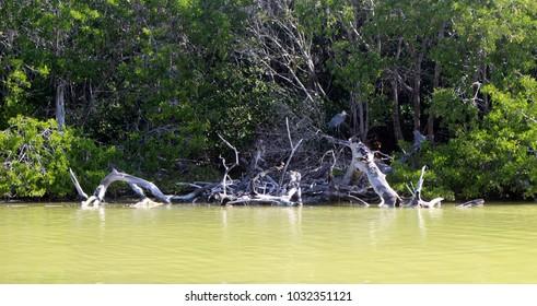 Dry mangrove trees/ Rio Lagartos, Yucatan, Mexico