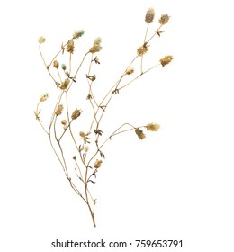 Dry meadow grass in sepia color. Watercolor hand-drawn herbarium illustration isolated on white background.
