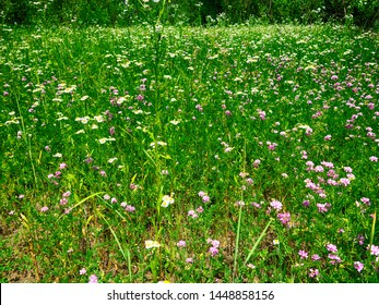 Dry mountain meadows on the slopes of the foothills, dominated by Vetch (Vicia sp.) and Scentless Mayweed (Tripleurospermum sp.). The valley of the river Pshish, the Main Caucasian ridge