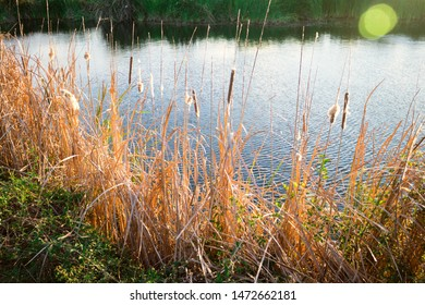 Dry narrow leaves and dry flowers of Cat-tail, Elephant grass, Lesser reedmace, Narrow-leaved Cat-tail (Typha Angustifolia) around the pond