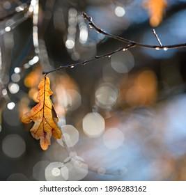 dry oak leaf hanging on the twig