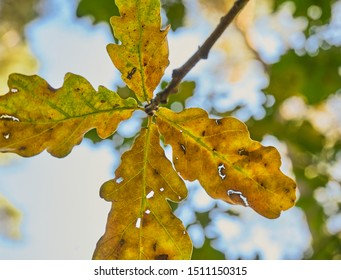 Dry oak leaves in autumn just before the yellow leaves fall from the branch of the tree