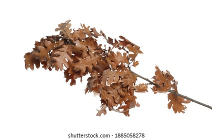 Dry oak tree branch and leaves isolated on white background