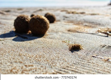 Dry oceanic posidonia seaweed balls on the beach and sand texture in a sunny day in winter