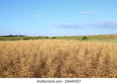 Dry oil rape  field in early summer ready for harvest