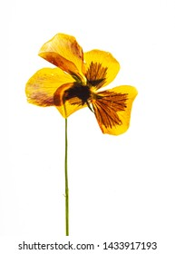 dry pansy flower on the white background