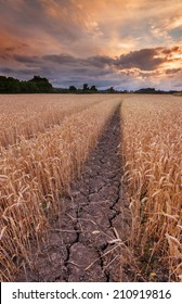 Dry, Parched ground with deep cracks in a ripe wheat field at sunset