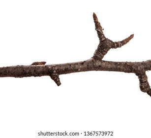 Dry pear tree branch on an isolated white background. Snag