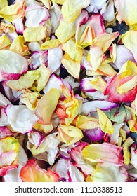 Dry petals of colorful rose buds
