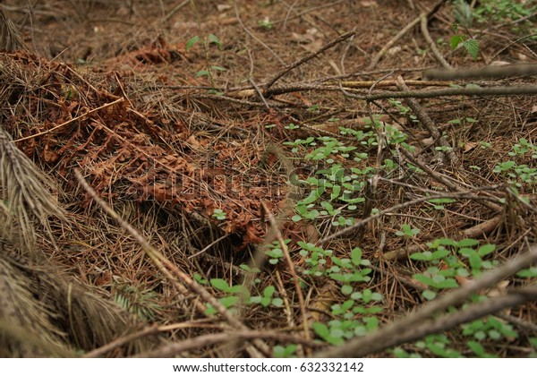 Dry pine branches and ferns in the forest background