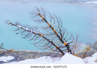 Dry pine tree on snow covered with hot geyser, Yellowstone national park, Wyoming