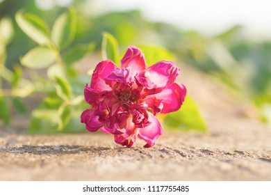 Dry pink Rose