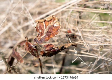 """Dry plant leaves close up """"Rubus ulmifolius""""  in the middle of dry grass."""