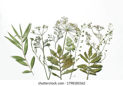 Dry plant leaves on a white background. Herbarium