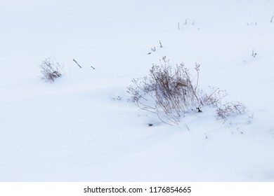 Dry plant in snow