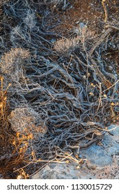 dry plants of the Mediterranean