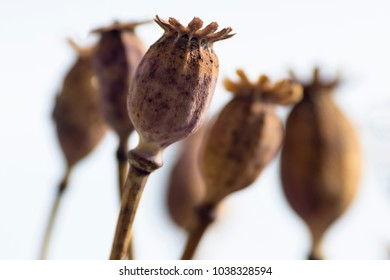 Dried poppy flower images stock photos vectors shutterstock dry poppy flower mightylinksfo