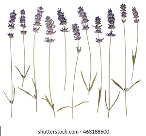 Dry pressed lavender isolated on white background