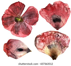 Dry, pressed poppy  perspective delicate flowers and petals  isolated on white background scrapbook art